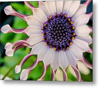 African Daisy Metal Print by TK Goforth