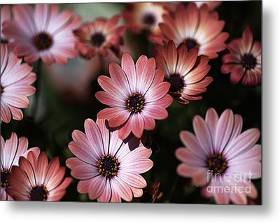 African Daisy Zion Red Metal Print by Joy Watson