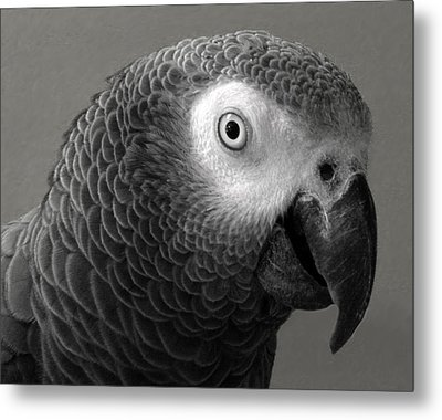 African Gray Metal Print by Sandi OReilly