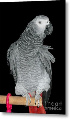 Metal Print featuring the photograph African Grey Parrot by Debbie Stahre