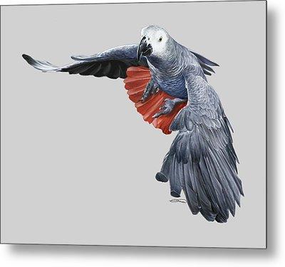 African Grey Parrot Flying Metal Print by Owen Bell