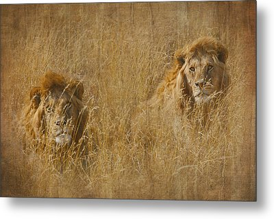 African Lion Brothers Metal Print