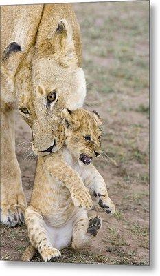 African Lion Mother Picking Up Cub Metal Print by Suzi Eszterhas