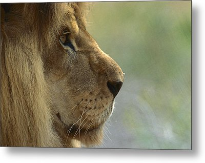African Lion Panthera Leo Male Portrait Metal Print by Zssd