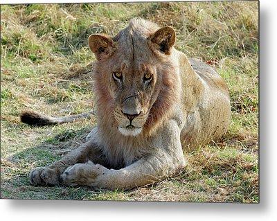 African Lion Metal Print by Robert Shard