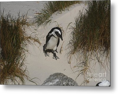 African Penguin On A Mission Metal Print