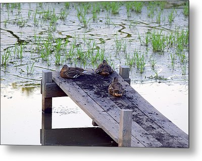 Metal Print featuring the photograph Afternoon Rest by Deborah  Crew-Johnson