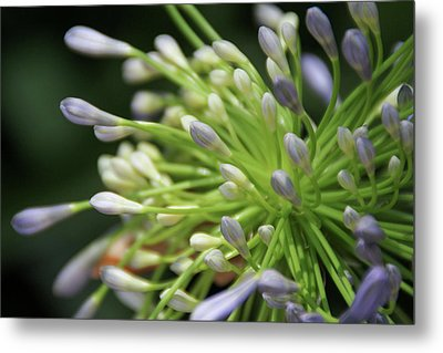Agapanthus, The Spider Flower Metal Print by Yoel Koskas