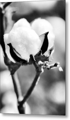 Agriculture- Cotton 2 Metal Print