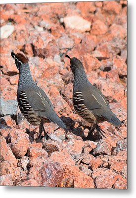 Ahhhh My Little Desert Quail Metal Print