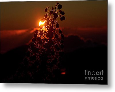 Metal Print featuring the photograph Ahinahina - Silversword - Argyroxiphium Sandwicense - Sunrise by Sharon Mau