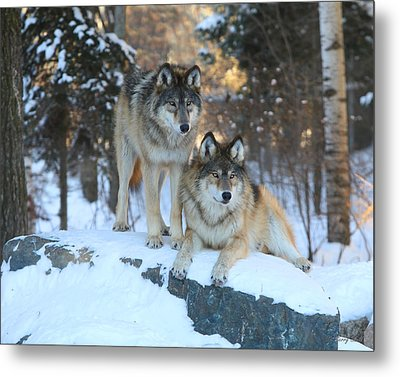 Aidan And Denali-brothers Forever Metal Print by Gerry Sibell