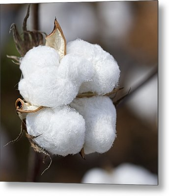 Alabama Cotton Boll Metal Print