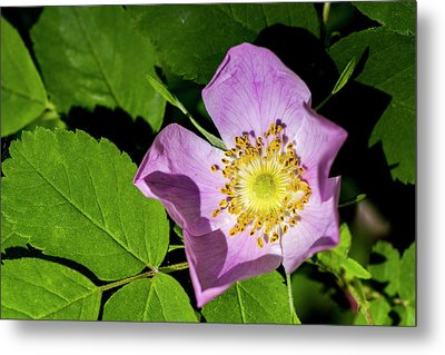 Metal Print featuring the photograph Alberta Wild Rose Opens For Early Sun by Darcy Michaelchuk