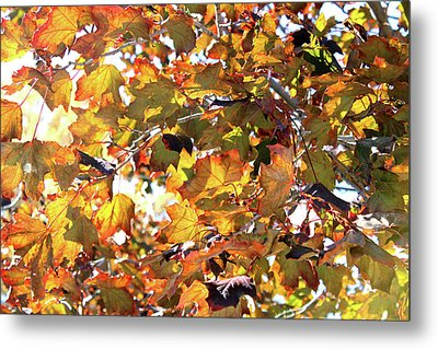 All The Leaves Are Red And Orange Fall Foliage With Sunshine Metal Print by Design Turnpike