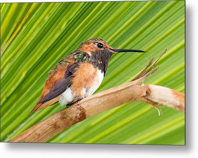 Allen's Hummingbird On Palm Tree Metal Print