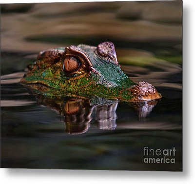 Alligator Above Water Reflection Metal Print