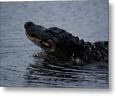 Alligator Eating A Crab Metal Print