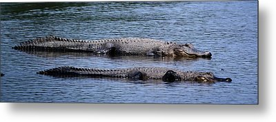 Alligator Pair Metal Print