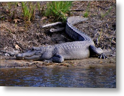 Alligator Resting Metal Print