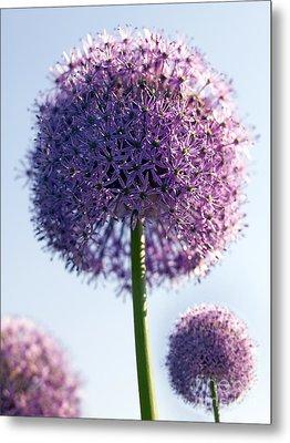 Allium Flower Metal Print by Tony Cordoza