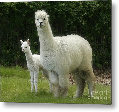 Alpaca And Foal Metal Print by Garry McMichael