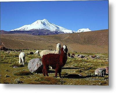 Alpacas And Guallatiri Volcano Chile Metal Print by James Brunker