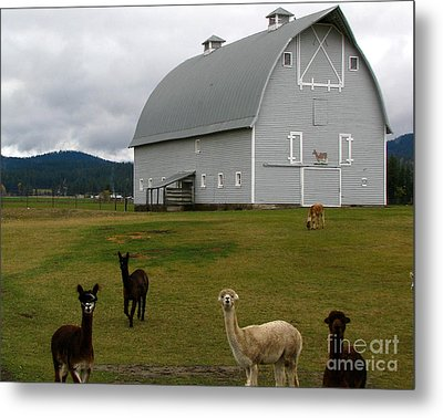 Alpacas Metal Print by Greg Patzer