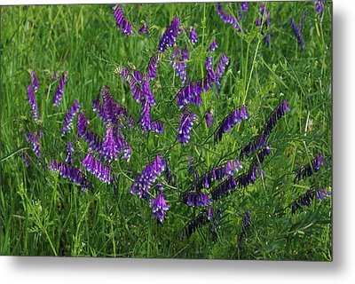 Metal Print featuring the photograph Alpine Vetch by Robyn Stacey