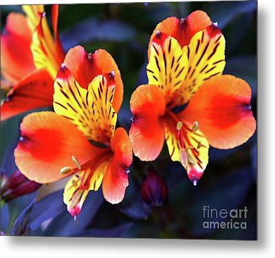 Metal Print featuring the photograph Alstroemeria Indian Summer by Baggieoldboy
