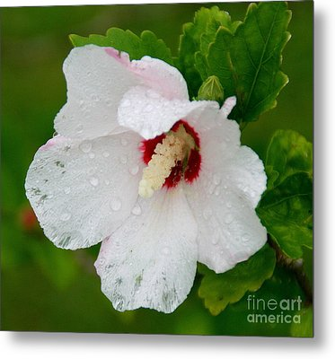 Althea After Rain Metal Print by Angela Chesnutt