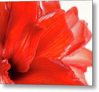 Amaryllis Fade Red Amaryllis Flower Subtly Fading Into A White Background Metal Print by Andy Smy