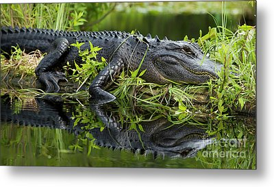 American Alligator In The Wild Metal Print