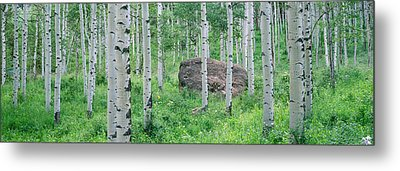 American Aspen Trees In The Forest Metal Print by Panoramic Images