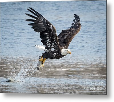 American Bald Eagle Taking Off Metal Print by Ricky L Jones