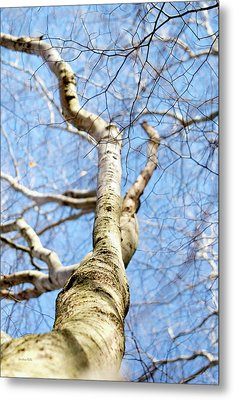 Metal Print featuring the photograph American Beech Tree by Christina Rollo