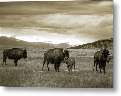 American Bison Calf And Cow Metal Print