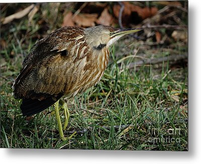 Metal Print featuring the photograph American Bittern by Douglas Stucky