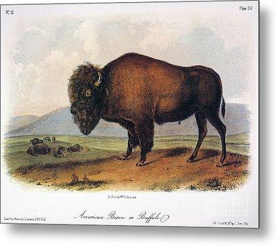 American Buffalo, 1846 Metal Print