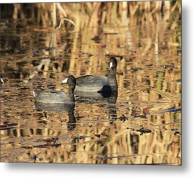 American Coots Metal Print by Jerry Battle