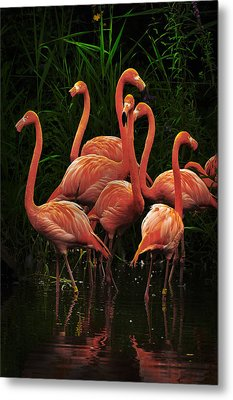 Metal Print featuring the photograph American Flamingo by Michael Cummings