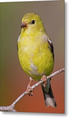 American Goldfinch  Female Metal Print