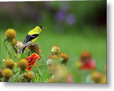 Metal Print featuring the photograph American Goldfinch by Juergen Roth