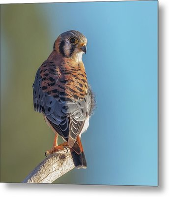 Metal Print featuring the photograph American Kestrel 3 by Angie Vogel