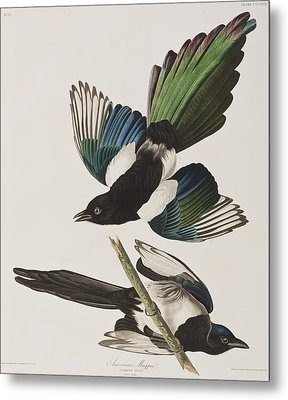 American Magpie Metal Print by John James Audubon
