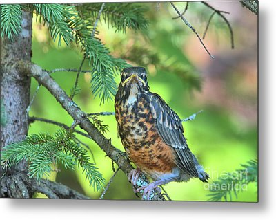 Metal Print featuring the photograph American Robin Fledgling by Debbie Stahre