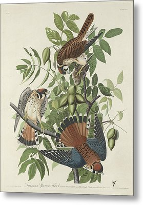 American Sparrow Hawk Metal Print
