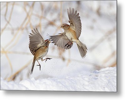 American Tree Sparrows Metal Print by Alina Morozova