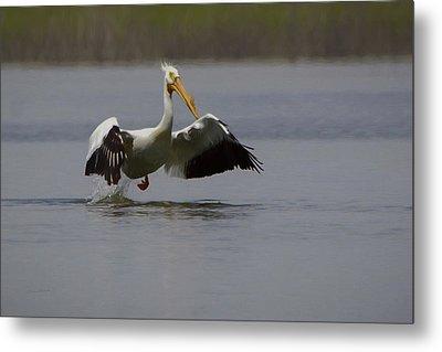 American White Pelican Da Metal Print by Ernie Echols