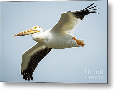 Metal Print featuring the photograph  American White Pelican Flyby  by Ricky L Jones